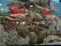 Hi lobster